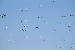 Snow Geese at Lewes Beach, Delaware (dckellyphoto) Tags: delaware lewes lewesbeach lewesbeachdelaware 2017 december ef75300mm snowgeese coast coastline shore shoreline atlanticocean birds blueazul bluestblue blue ansercaerulescens fly flying lookingup