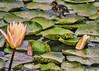 bruce part1 (Cordia Loretta) Tags: flowers flower cordiamurphy botanicalgarden mallard duckling peach greenlilypad lilypond