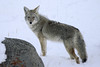 Yellowstone Coyote (CraigGoodwin2) Tags: coyote yellowstone