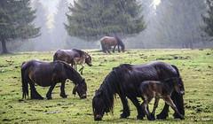 Jarreando (Jabi Artaraz) Tags: jabiartaraz jartaraz zb euskoflickr pottokas horses potrillos hierba primavera lluvia