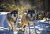 Wolves in backlight (CecilieSonstebyPhotography) Tags: wolves bokeh markiii backlight tongue winter langedrag closeup canon5dmarkiii brothers wolfbrothers sunlight canon wolf january snow specanimal specanimalphotooftheday