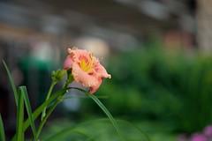 coral orange (l i v e l t r a) Tags: color orange coral green stem urban city garden plant colorful stamen bokeh smooth blur background summertime 85mmf18g df nikkor f18