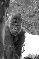 Akili in the snow (Ezzy Davidson) Tags: wwwartisnl artis amsterdam dierentuin park zoo akili gorilla zilverrug silverback