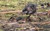 spotless crake (Porzana tabuensis)-8452 (rawshorty) Tags: rawshorty birds canberra australia act jerrabomberrawetlands