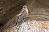 Blue-footed Booby 500_4386.jpg (Mobile Lynn) Tags: booby birds wild bluefootedbooby nature bird fauna sula wildlife sulanebouxii taguscoveisabelaisland galapagosislands ecuador ec coth specanimal coth5