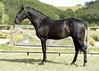 JOCO DE LA GESSE - M PSL - 11/06/2014 (HARAS DE LA GESSE) Tags: cheval horse poulain pouliche foal haras dressage