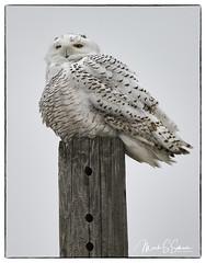 Snowy Owl at B. K. Leach Memorial Conservation Area - No. 2 (Nikon66) Tags: snowyowl owl irruption bkleachmemorialconservationarea lincolncounty missouri nikon d850 600mmnikkor