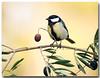 Carbonero común (Parus major), Parque natural de la sierra Mariola en Bocairent, Comunidad Valenciana, Spain. (Carpinet.) Tags: ave pajaro pájaro bird olympus esolympus nature naturaleza parquenatural bellezadelanaturaleza olivo acitunas aceite arbol tree animales animal bocairent mariola sierramariola sierrademariola