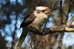 Laughing Kookaburra  (Dacelo novaeguineae) (johnedmond) Tags: perth westernaustralia australia herdsmanlake kookaburra wildlife nature bird sel55210 55210mm ilce3500 sony