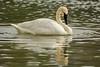 Like a snowy angel (ChicagoBob46) Tags: trumpeterswan swan bird yellowstone yellowstonenationalpark nature wildlife yellowstoneriver river coth5 ngc npc