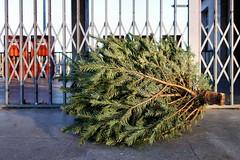 Es ist wieder Knut! (andtor) Tags: berlin gwb rx100 weihnachten christmas ikea weihnachtsbaum christmastree guessedberlin gwbthone66 knut bäumchenrausschnäppchenrein