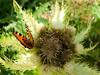 Wanderurlaub auf der Rudolfshütte - Wanderung zum Sonnblickkees (gernotp) Tags: berg butterfly gliederfüser insekten natur ort rudolfshütte salzburg schmetterling tiere uniramia urlaub uttendorf wandern wanderurlaub grl5al grv4al österreich