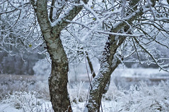 Last apple (Stefano Rugolo) Tags: stefanorugolo pentax k5 pentaxk5 smcpentaxm50mmf17 apple last tree snow depthoffield winter hälsingland sverige sweden countryside landscape vintagelens bokeh branches