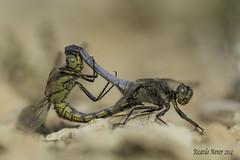 Mating of Orthetrum cancellatum (Ricardo Menor) Tags: odonatos anisópteros dragonfly dragonflies libélulas elcoto elcoto2014 2014 airelibre iluminaciónnatural cópula apareamiento mating orthetrumcancellatum