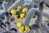 Cactus flowers (thomasgorman1) Tags: flowers outdoors nature nikon prickly spines desert nm albuquerque