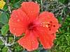 Hibiscus Rosa-Sinensis - Hibisco - Flora - Florianópolis-SC - Fotografado por Regis Silbar em 27-12-2017 (Regis Silbar) Tags: hibisco hibiscusrosasinensis flor florvermelha regissilbar regis silbar florianópolis sc santacatarina