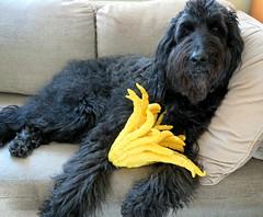 Benni and the Buddha Hand Citron (Bennilover) Tags: dogs labradoodle benni fruit citron buddhahand lemony citrus strange weird wonderful sleepy