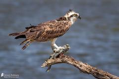 Osprey (Birds Of Amsterdam) Tags: ospray pandion haliaetus visarend bird prey eating fish florida wildlife roofvogel