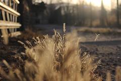 003/365 Morning Glow (Helen Orozco) Tags: glow grasses drive bokeh blur morninglight 3365 2018365