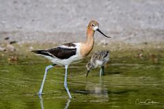 The Protector (craig goettsch) Tags: americanavocetrecurvirostraamericana hendersonbirdviewingpreserve2017 avian nature wildlife nikon d500 chick ngc