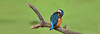 Martin-pêcheur d'Europe  (Alcedo atthis) (francisaubry) Tags: martinpecheur bird waterbird aves nikon 300mm nikkor kingfisher nikonflickraward greatphotographers eisvogel