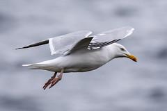Herring Gull Ardmair 06 06 17 (mickfrown) Tags: herring gull raven ardmair scotland