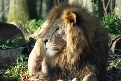Lion en passant (SCRIBE photography) Tags: uk africa england wiltshire longleat lion bigcat king jungle mammal mane pride proud natural wildlife safari