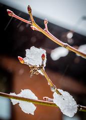 8160 (1 of 1) (sallyjane6) Tags: snow snowyday newlife buds winter bedford holly macro closeup