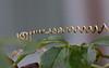 With great passion (herman hengelo) Tags: passifloracaerulea passion passiebloem garden tuin hengelo thenetherlands
