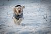The Charge ! (DP the snapper) Tags: turbo turboflying cockapoo dog riflerange animals snow