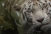 A Sense Of Satisfaction (melvhsc100) Tags: animals wildlife singaporeattractions white tiger closeup carnivorous water swim zoo extinctanimals nikon7200 tamron150600mm
