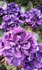 Beautiful Hydrangeas (sweetpeapolly2012) Tags: gardenflower garden hydrangea purple mauve leaves hardy blooms petals