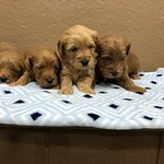 Lacey and Jax have 4 boys and 2 girls ! I'm contacting families on the waiting list for these puppies. If you're not yet on the list, none of these will be available. We will have more litters soon though, that will go home in Feb. We should have availabi