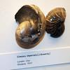 london_natural_history_museum_21dec2017ad (chrisandrew314) Tags: natural history museum london nautilus clay eocene