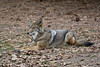Handsome and Attentive - Coyote in Yosemite National Park (Journey CPL) Tags: yosemite nationalpark coyote wildlife wild handsome attentive wolf sighting california park
