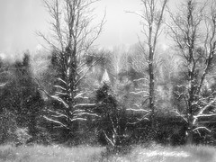 Winter Morning (LupaImages) Tags: trees pines snow morning falling cold wet ice landscape outdoors rural