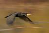 Phalacrocorax carbo, cormorano, great black cormorant (gianni_62) Tags: panning cormorano