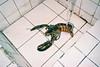 (埃德溫 ourutopia) Tags: film maco tcs eagle 400 macotcseagle macotcseagle400 yashica t2 t3 t4 t5 expiredfilm filmphotography analog analogphotography sink white kitchen water wash cooking lobster seafood フィルム