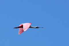 Roseate Spoonbills (c) 2017 Dr. Lester Shalloway all rights reserved; at Paurotis Pond in the South Everglades