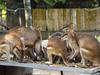 Move Along, nothing to see here (afi169) Tags: olympus zoonegara animal wildlife nationalgeographic 45mm f18 mirrorless camera shiro169 afi malaysia kualalumpur kl kangaroo zoo negara