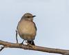 IMG_9215 (DavidMC92) Tags: canon eos 7d tamron sp 70300mm winter solstice birds edmond oklahoma margaret ann boys centennial arboretum northern mockingbird