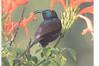 Africa1-174272.jpg (Globalbirder) Tags: tacazzesunbird birds bird nectariniatacazze nectariniidae vogel