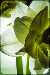 Amaryllis (CWhatPhotos) Tags: bloom flowering green plant bud light photographs photograph pics pictures pic picture image images foto fotos photography artistic cwhatphotos that have which with contain olympus digital camera lens em5 mkii samyang fisheye 75mm aspherical manual micro macro flowers flower nature color colour colors colours vibrant closeup close up amaryllis heads head shadowed shadow shadows wide fish eye view shot beauty beautiful illuminated from behind back lit
