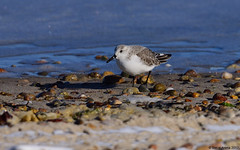 Sanderling (Calidris alba) (Steve Arena) Tags: calidrisalba sand sanderling shorebird sandyneckbeachpark sandyneck westbarnstable barnstable barnstablecounty massachusetts 2017 nikon d750