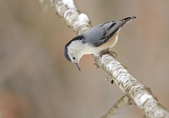 Leaping Into 2018 (Slow Turning) Tags: sittacarolinensis whitebreastednuthatch male bird perched tree branch snowing birch betula winter southernontario
