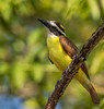 Great Kiskadee (Pitangus sulphuratus) (NigelJE) Tags: greatkiskadee kiskadee pitangus pitangussulphuratus tyrantflycatcher tyrannidae nigelje ixtapa zihuatanejo guerrero mexico
