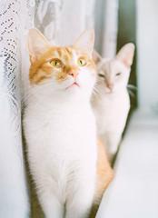 my_cats (lera_abrakadabra) Tags: cats catslovers cutecat gingerandwhitecat animals pets petlovers abrakadabraphoto twocats friends catslife catslifestyle cat portrait