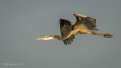 Great Blue Heron (Bob Gunderson) Tags: alamedacounty ardeaberodias arrowheadmarsh birds california eastbay greatblueheron herons northerncalifornia wadingbirds