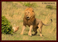 TENSE MOMENT BETWEEN THE KING OF JUNGLE AND THE LIONESS  (Panthera leo)....MASAI MARA....SEPT 2017 (M Z Malik) Tags: nikon d800e 400mmf28gedvr kenya africa safari wildlife masaimara keekoroklodge exoticafricanwildlife exoticafricancats flickrbigcats lions leo ngc