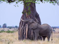 Tanzania '14_3882 (Jimmy Vangenechten 76) Tags: geo:lat=765940400 geo:lon=3497122600 geotagged tanzania africa afrika wildlife safari animal dier nature ruahanationalpark greatruahariver elephant loxodontaafricana olifant